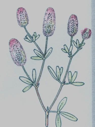Pied de lièvre - Trifolium arvense