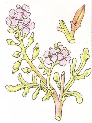 Roquette de mer - (Cakile maritima)