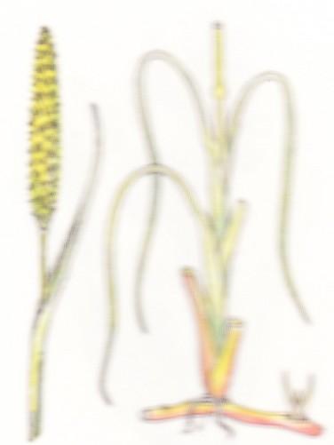 Roseau des sables - Psamma arenaria