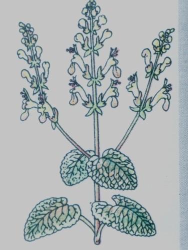 Sauge des bois - Teucrium scorodonia