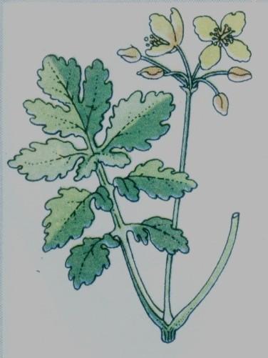 chélidoine