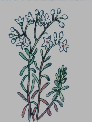 orpin blanc