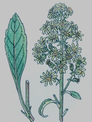 Verge d'or - Solidago virga-aurea