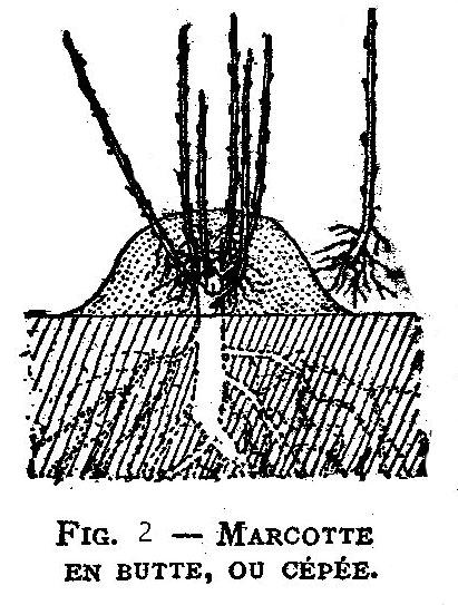 Le marcottage en butte