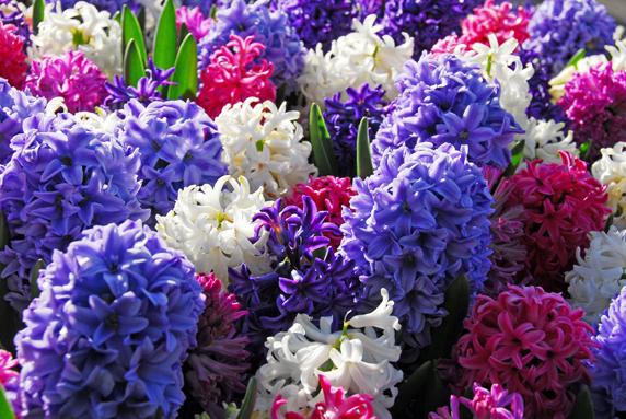 jacynthe, hiacinthus