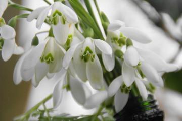 Perce-neige - Galenthus nivalis