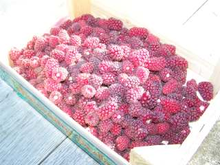 'Tayberry'