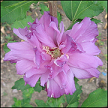 Hibiscus Syriacus Royal Light Purple