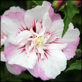 Hibiscus Syriacus Pinky Spot CR12