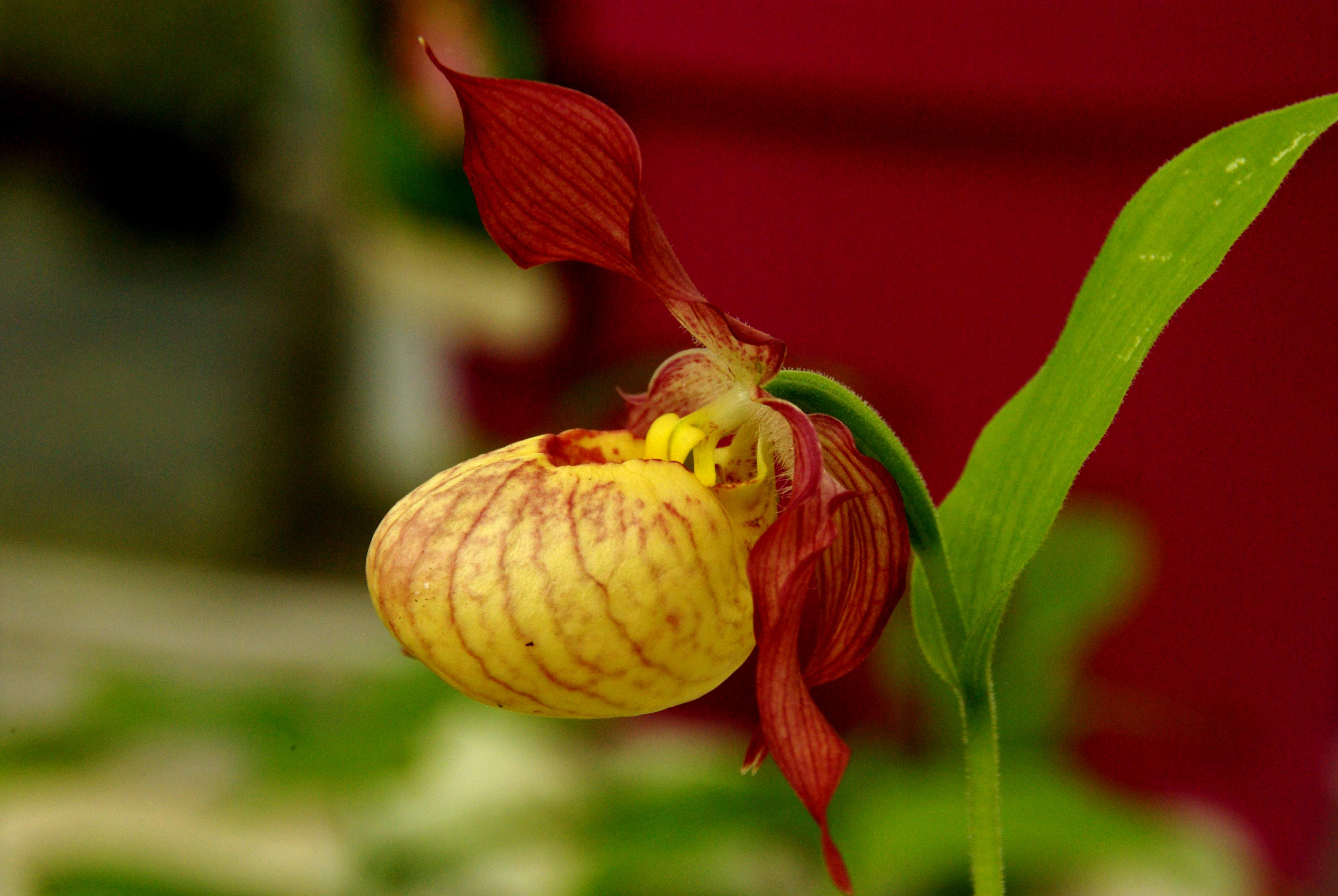 Cypripedium parviflorum - 3
